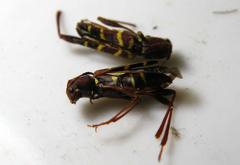 Red horned beetles - photo#25