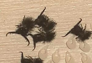 Owlfly Hatchlings