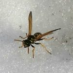Paper Wasp in the Snow