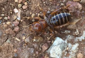 Potato Bug