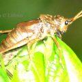 Milkweed Grasshopper