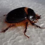 Rain Beetle:  Pleocoma hovorei