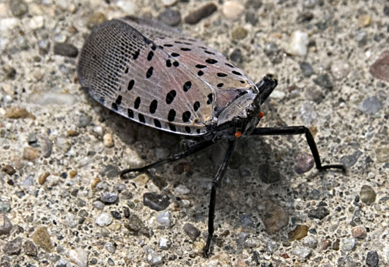Spotted Lanternfly or White Cicada from China - What's ...