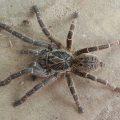 Tarantula:  Ceratogyrus meridionalis