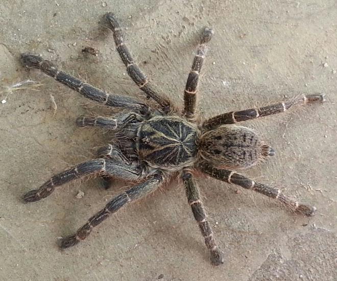 Trapdoor Spiders Bite: Tarantula From Zambia: Ceratogyrus Meridionalis