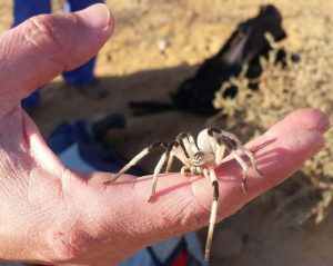 Wolf Spider from Israel