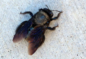 Female Valley Carpenter Bee