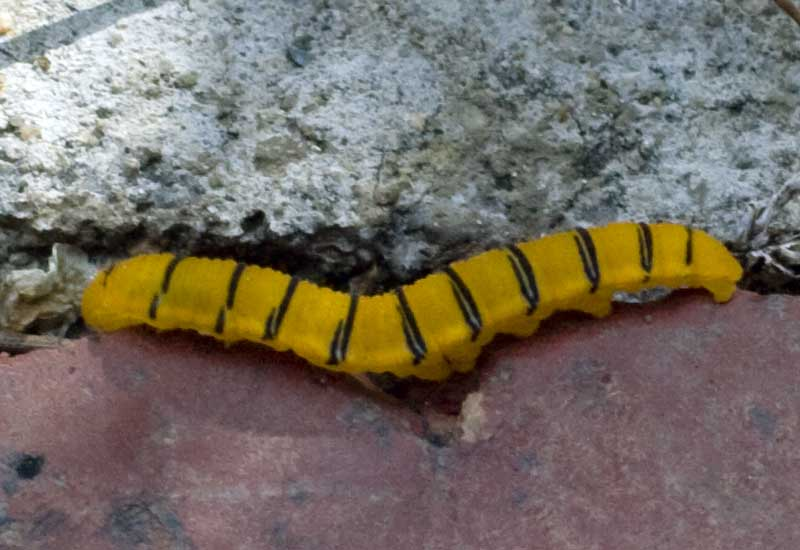 Cloudless Sulphur Caterpillar What S That Bug