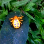 Crab Spider:  Platythomisus octomaculatus