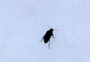 Ground Beetle, we believe