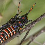 Mating Toxic Milkweed Grasshoppers