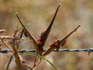 Large Milkweed Bugs (juvenile)