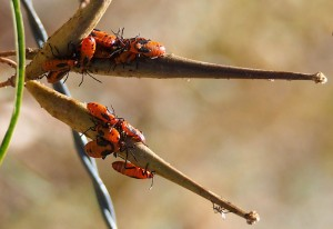 Narrow Leaf Milkweed with Large Milkweed Bug nymphs