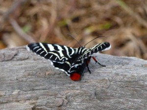 Mistletoe Moth