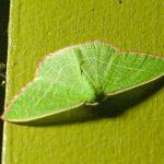 Emerald, possibly Nemoria leptalea