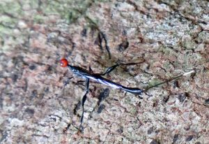 Possibly Ichneumon from Philippines