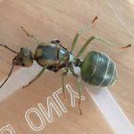 Queen Green Tree Ant