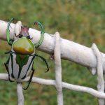 Regal Fruit Chafer from Zimbabwe:  Ranzania splendens
