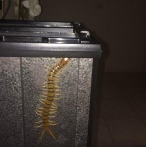 Scolopendrid Centipede