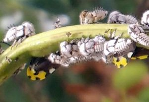 Treehoppers, Membracis mexicana, Adults and Nymphs