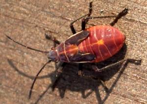 Western Boxelder Bug Nymph
