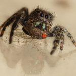 Bold Jumper eats Fruit Fly