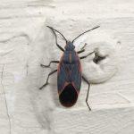 Democrat Bug