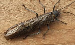 Probably Ebony Salmonfly