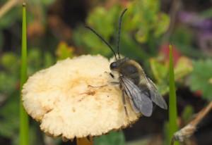 Longhorned Bee