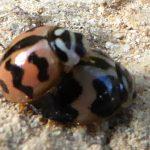 Mating Lady Beetles