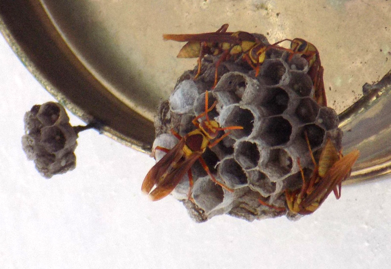 Paper Wasp Nest Identification