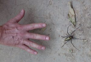 Golden Silk Spider with Steve for scale.