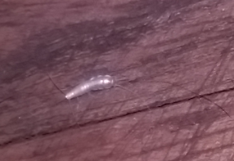Silverfish Bristletails And Firebrats Archives What S