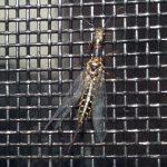 Square Headed Snakefly