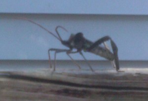 Big Legged Bug