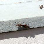 Mating Boxelder Bugs