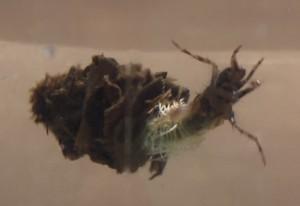 Caseworm