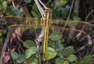 Female Skimmer