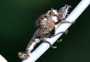 Robber Fly eats Fly