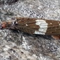Dark Fishfly Ovipositing