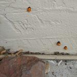 Pupae of Lady Beetles