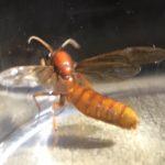 Legionary Ant