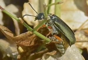 Blister Beetle: Lytta aenea