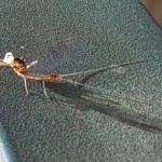 Mayfly Exuvia