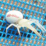 Goldenrod Crab Spider