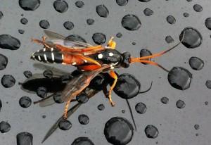 Parasitic Hymenopteran