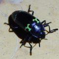 Pleasing Fungus Beetle, we believe