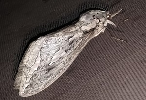 A smaller female Rain Moth, we believe