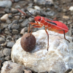 Immature Red Bug