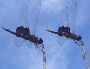 Saddlebags Dragonfly
